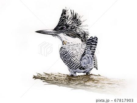 野鳥細密画イラスト ヤマセミ  67817903