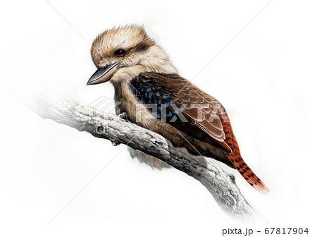 野鳥細密画イラスト ワライカワセミ  67817904