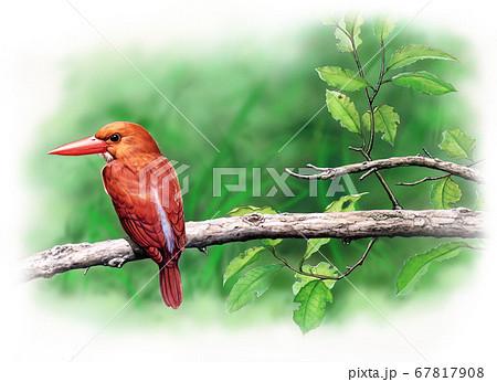 野鳥細密画イラスト アカショウビン  67817908