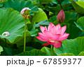 早朝の池に咲く美しい古代ハスの花 67859377