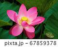 早朝の池に咲く美しい古代ハスの花 67859378