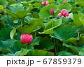 早朝の池に咲く美しい古代ハスの花 67859379