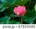 早朝の池に咲く美しい古代ハスの花 67859380