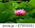 早朝の池に咲く美しい古代ハスの花 67859381