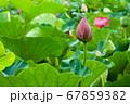 早朝の池に咲く美しい古代ハスの花 67859382