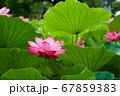 早朝の池に咲く美しい古代ハスの花 67859383