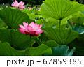 早朝の池に咲く美しい古代ハスの花 67859385