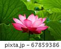 早朝の池に咲く美しい古代ハスの花 67859386
