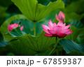 早朝の池に咲く美しい古代ハスの花 67859387