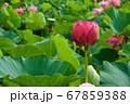 早朝の池に咲く美しい古代ハスの花 67859388