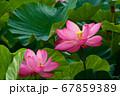 早朝の池に咲く美しい古代ハスの花 67859389