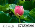 早朝の池に咲く美しい古代ハスの花 67859390