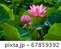 早朝の池に咲く美しい古代ハスの花 67859392