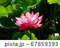 早朝の池に咲く美しい古代ハスの花 67859393