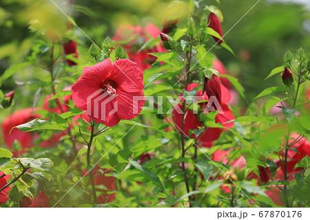 花壇に咲いた赤く大きなタイタンビカス 67870176