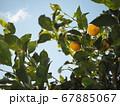 青空に伸びるレモンの木 67885067