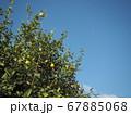 空とレモンの木 67885068