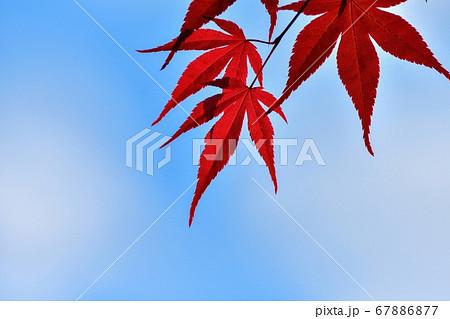 青空バックに見上げる真っ赤なモミジの若葉 67886877