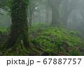 霧のブナ林 67887757