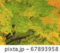 緑葉と紅葉のカエデの葉 67893958