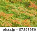 緑葉と紅葉のカエデの葉 67893959