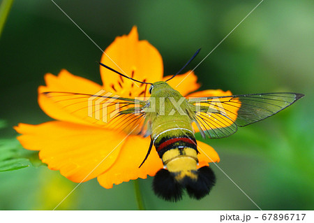 キバナコスモスの花を吸蜜するオオスカシバ 67896717