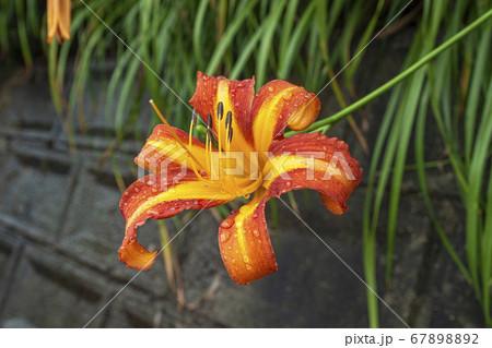 傾斜地に咲く雨上がりのノカンゾウ、ハマカンゾウ 67898892