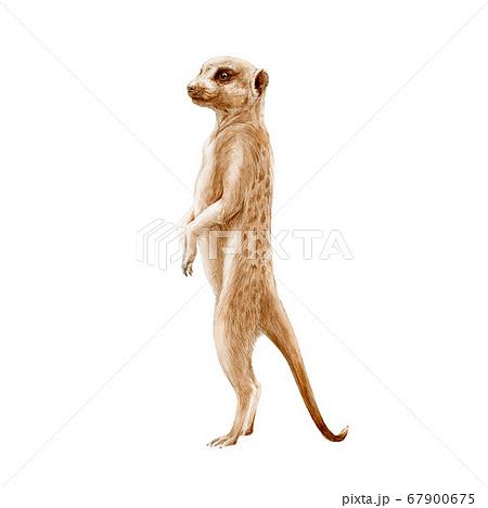Meerkat standing watercolor painted illustration.  67900675