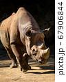 動物園で陰影が強い正面ののサイ(Rhino) 67906844