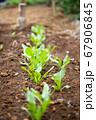 畑に生きる野菜の芽と葉 67906845