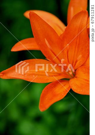 緑の草を背景にしたオレンジ色のスカシユリの花 67911281