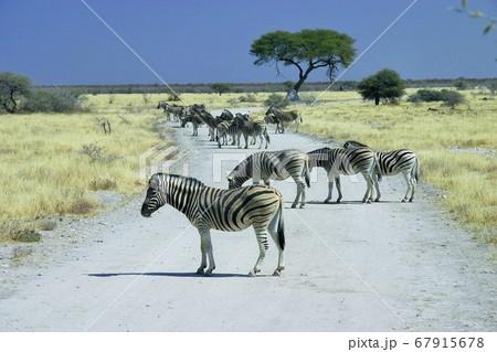 野生のシマウマ(エトーシャ国立公園・ナミビア) 67915678