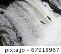 サクラマスが懸命の滝登り 67918967