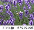 北海道のラベンダー 67919196
