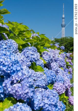 6月東京 東京スカイツリーと旧中川沿いの紫陽花 67921969