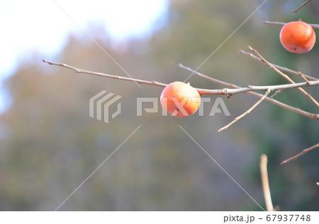 もうすぐ落ちてしまいそうな柿 冬の訪れ 67937748