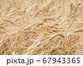 麦秋 金色に輝く収穫時期のビール麦の穂 麦畑 (5月) 67943365