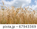 麦秋 青空と収穫時期のビール麦 麦畑 (5月) 67943369