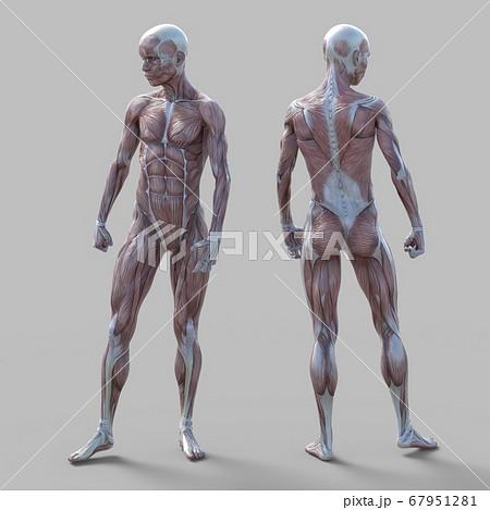男性 解剖 筋肉 3DCG イラスト素材 67951281