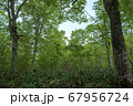 新緑の奥利根水源の森 新緑のブナ林 群馬県みなかみ町   67956724