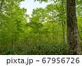 新緑の奥利根水源の森 新緑のブナ林 群馬県みなかみ町   67956726