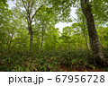新緑の奥利根水源の森 新緑のブナ林 群馬県みなかみ町   67956728