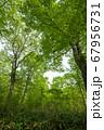 新緑の奥利根水源の森 新緑のブナ林 群馬県みなかみ町   67956731