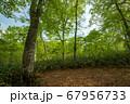 新緑の奥利根水源の森 新緑のブナ林 群馬県みなかみ町   67956733