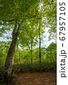 新緑の奥利根水源の森 新緑のブナ林 群馬県みなかみ町   67957105