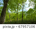 新緑の奥利根水源の森 新緑のブナ林 群馬県みなかみ町   67957106