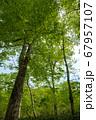 新緑の奥利根水源の森 新緑のブナ林 群馬県みなかみ町   67957107