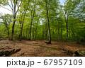 新緑の奥利根水源の森 新緑のブナ林 群馬県みなかみ町   67957109