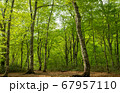 新緑の奥利根水源の森 新緑のブナ林 群馬県みなかみ町   67957110
