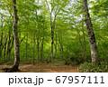 新緑の奥利根水源の森 新緑のブナ林 群馬県みなかみ町   67957111